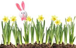 复活节兔子和黄水仙 免版税库存图片