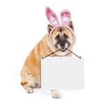 复活节兔子运载空白的标志的秋田狗 免版税库存图片