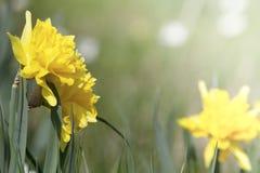 黄水仙复活节在草甸背景的春天开花 库存图片