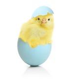 从复活节彩蛋出来的逗人喜爱的小的鸡 免版税库存图片