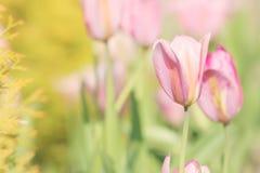 复活节或母亲节郁金香卡片材料的照片 图库摄影