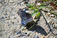 复活节老虎Swallowtail蝴蝶 图库摄影