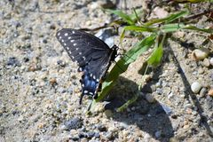 复活节老虎Swallowtail蝴蝶 免版税库存照片