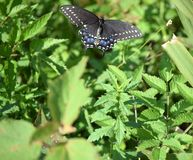 复活节老虎Swallowtail蝴蝶 库存图片