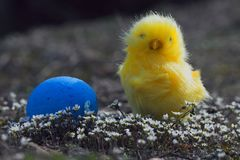 复活节鸡在春天开花用蓝色鸡蛋 免版税库存照片