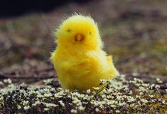 复活节鸡在春天花 库存图片