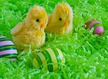 复活节-两只黄色小鸡用在绿色背景的镶边鸡蛋 免版税图库摄影
