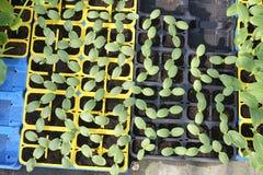 夏南瓜小植物  库存照片