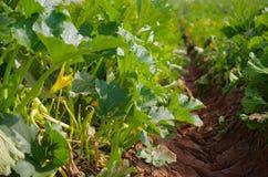 年轻夏南瓜植物和黄色花 免版税库存照片