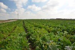 年轻夏南瓜植物的领域 免版税库存图片