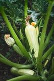 夏南瓜植物 库存图片