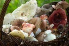 夏天不同的淡色口气森林蘑菇一个充分的篮子以森林沼地为背景的 免版税图库摄影
