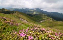 夏天与美丽的杜鹃花myrtifolium的山风景 库存照片