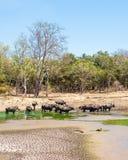 夏天与野生亚洲水牛牧群的森林风景  库存照片