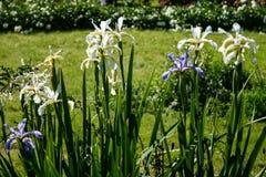 夏天使白色和紫色现虹彩 库存图片