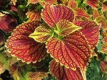 夏天充满活力的红色和黄色叶子  库存图片