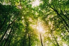 夏天发光通过高大的树木机盖的太阳  阳光在12月 库存图片