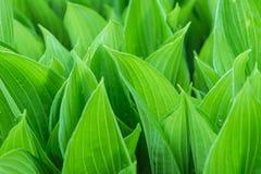 夏天叶子的绿叶 库存图片