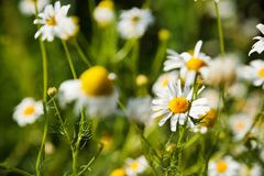 夏天和春黄菊的春天摄影调遣 开花宏指令作为您的文本的背景 免版税库存照片