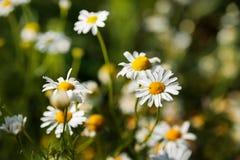 夏天和春黄菊的春天摄影调遣 开花宏指令作为您的文本的背景 库存照片