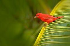 夏天唐纳雀,皮兰加rubra,红色鸟在自然栖所 唐纳雀坐绿色棕榈树 鸟的监视人在哥斯达黎加 免版税库存图片