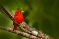 夏天唐纳雀,皮兰加rubra,红色鸟在自然栖所 唐纳雀坐绿色棕榈树 鸟的监视人在哥斯达黎加 免版税图库摄影
