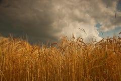 夏天在大麦的暴风云在林肯郡,英国播种 库存照片