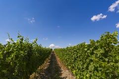 夏天在有清楚的蓝天的一个葡萄园里 图库摄影