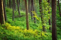 夏天在森林地板上的松林和越桔植物 图库摄影