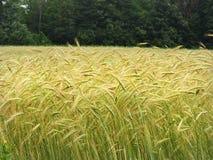 夏天在绿色树树篱前面的大麦庄稼 库存图片