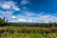 夏天在费尔班克斯,阿拉斯加附近的野草花 库存照片