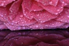 夏天在雨下落的玫瑰花瓣 免版税库存照片