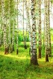 夏天在晴朗的桦树森林里 图库摄影
