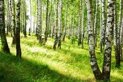 夏天在晴朗的桦树森林里 库存图片