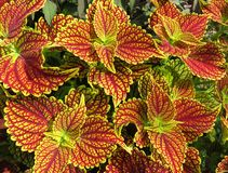 夏天多色的红色和黄色叶子  免版税图库摄影