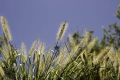 夏天大网茅草在一个热的夏日 库存照片