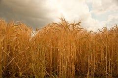 夏天大麦庄稼在林肯郡,英国 库存图片