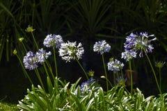 夏天太阳照亮的非洲百合庭院 库存图片