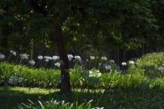 夏天太阳照亮的非洲百合庭院 免版税图库摄影