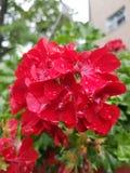 夏天小红色瓣花  库存图片