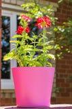 夏天开花在后照的桃红色花盆,接近的马鞭草属植物 图库摄影