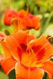 夏天开花橙色黄花菜 免版税库存照片
