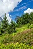 夏天开花的三叶草高山草甸 库存照片