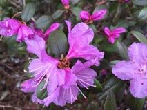 夏天开花的紫红色的杜娟花灌木 免版税库存图片