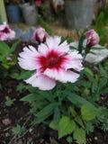 夏天开花的pithunia 免版税库存照片