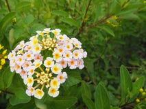 夏天开花系列,开花的美丽的桃红色和黄色兰潭水库 免版税库存图片