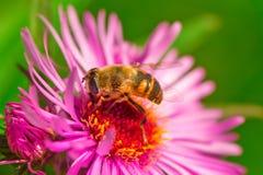 夏天开花,翠菊,收集花粉的蜂 免版税库存照片