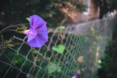 夏天开花-在被弄脏的背景的喇叭花 库存图片