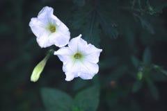 夏天开花-在被弄脏的背景的喇叭花 免版税库存照片