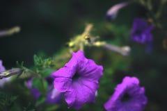 夏天开花-在被弄脏的背景的喇叭花 库存照片